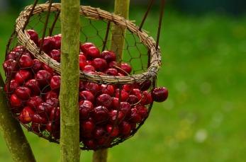 cherries-1503974_960_720.jpg